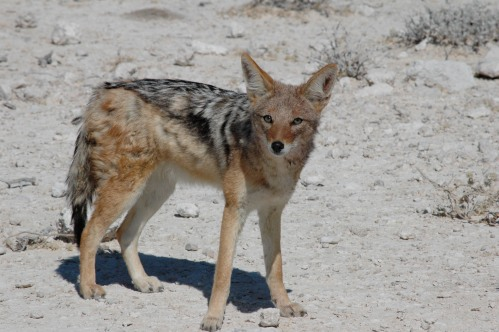 a guilty looking jackal, who probably ate some leftovers and plastic from camp