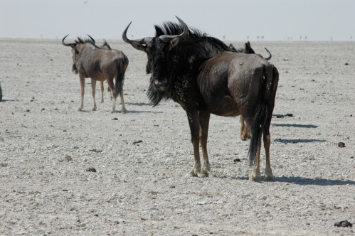 wildebeest on the etosha salt pan