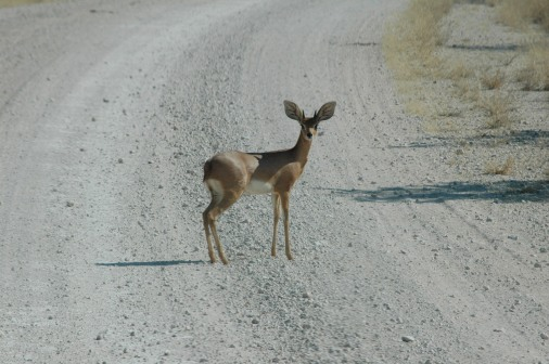 a tiny steenbok, looking like a deer in headlights - but don't worry, we stopped in time