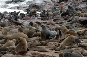 lots and lots of stinky seals