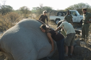 trying to get my arms around the tummy of a sleepy elephant