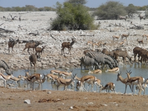 All the reindeer, ahem, i mean pretty hooved animals drinking at Okaukejo waterhole