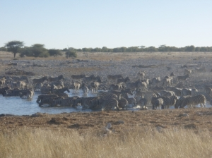 zebra drinking at Okaukuejo Waterhole