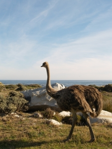 an ostrich strolling along in Cape Point National Park