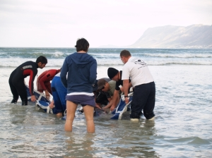 struggling to help the beached pigmy whale before sharks got to it