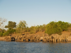 a breeding herd of elephant drinking