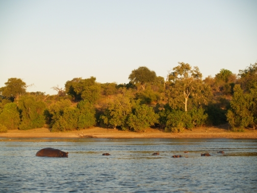 a bunch of hippos hiding underwater