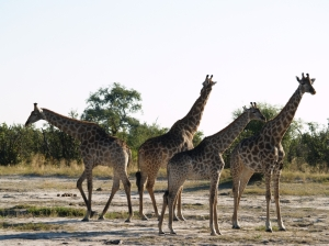 giraffes... all legs and neck