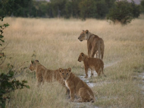 lions at first light