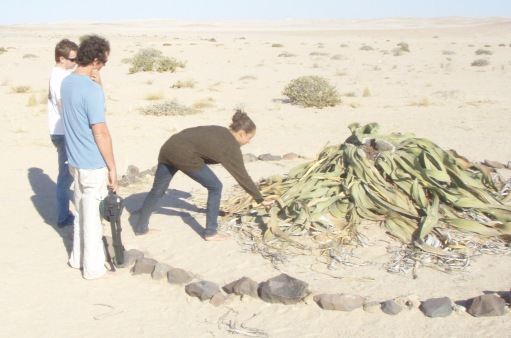 being curious about the welwitschia plant, probably circa 800 years old