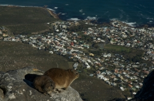 Hyrax enjoying the view of Camps Bay from table Mountain