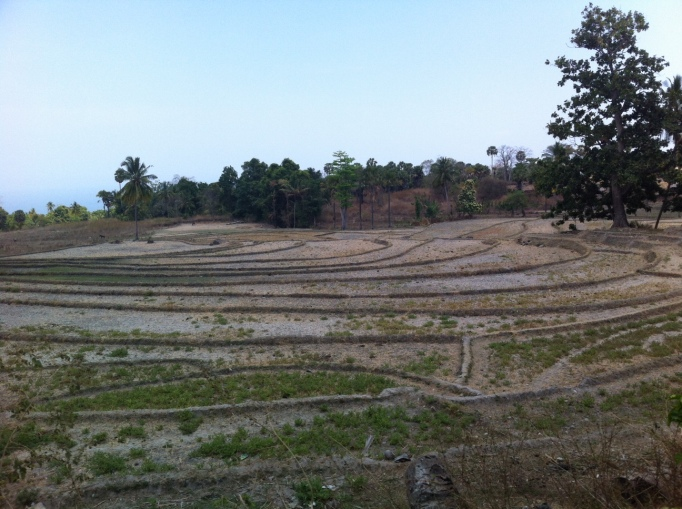 dry rice fields