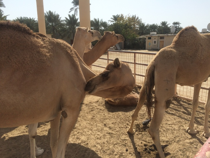 all the kings camels at the Royal Camel farm