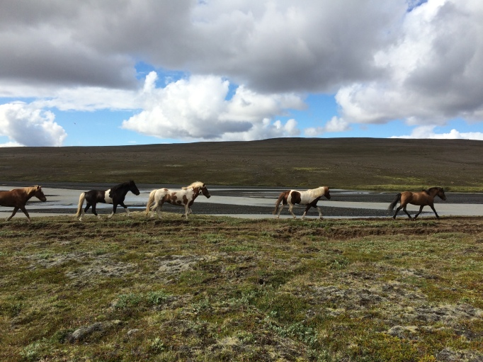 the lose herd is one of Iceland's signature horse tour characteristics
